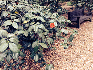 A single camellia peeks out in the bush near a handy bench among the trees.