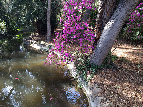Slender tree loaded with pink flowers cascading over the koi pond