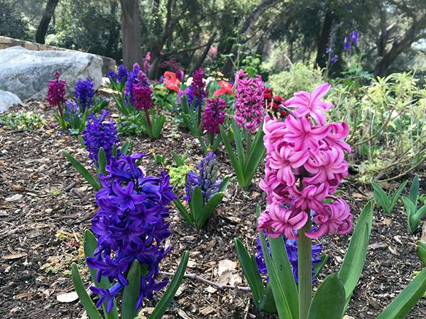 Field of hyacinths