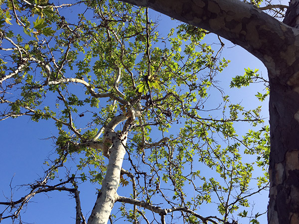 Overhead view of green leaf canopy against blue sky