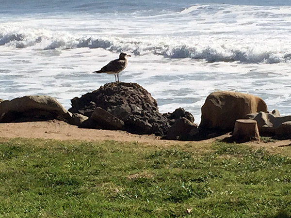 Seagull perched on a rock near the waves, lawn from the cafe's patio area in foreground