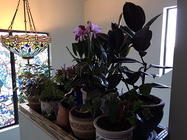 Tiffany style chandelier hanging in front of stained glass window with many potted plants in the foreground