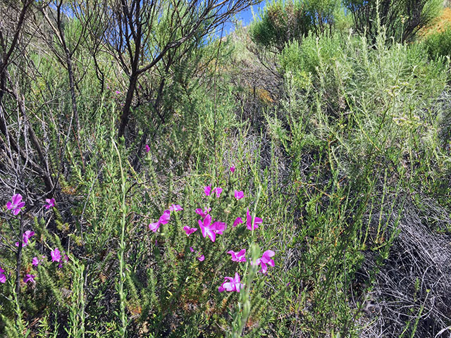 Purple wildflowers bloom amongst sage brush