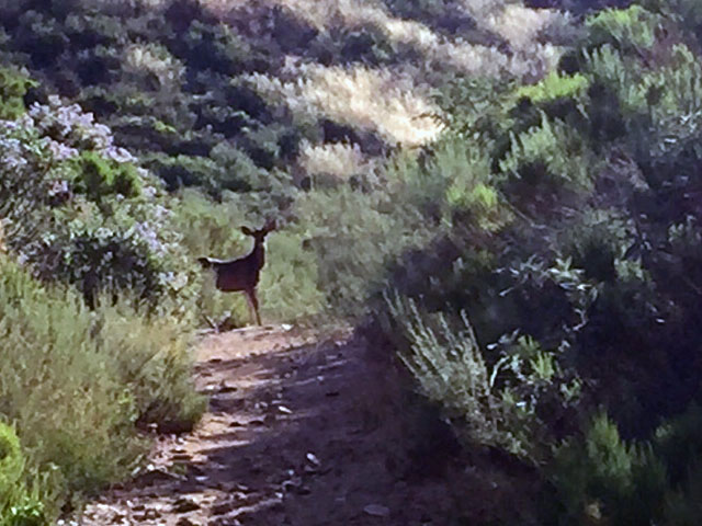 A deer in the trail.