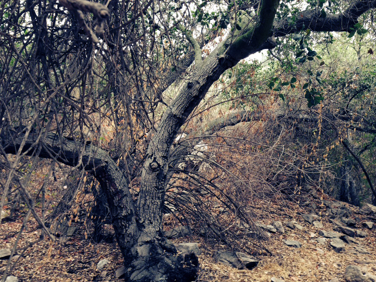 A large and straggly tree.